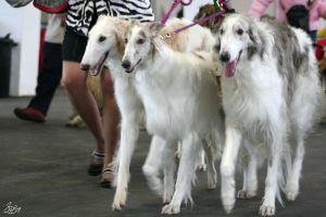 Borzoi by Gibbich