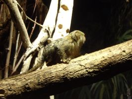 Pygmy marmoset by decors