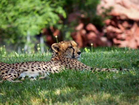 Cheetah 2. by purevintage