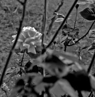 Roses by riona