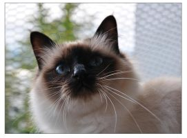 Sacred birman by Yunalescie