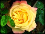 Pretty rose... by simoner