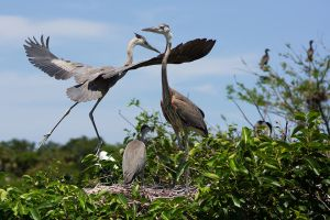 Nesting Herons by secondclaw