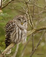 Barred Owl - Sleepy Owl by Les-Piccolo