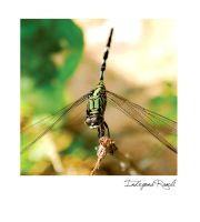 dragonfly by indryana