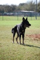 German Shepherd Stand by CompassLogicStock