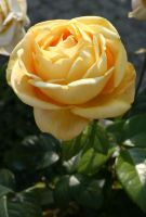 .. yellow rose flower .. by Nexu4