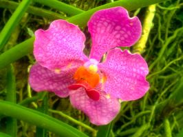 Vibrant Orchid by AMMEX