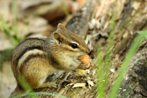 A day in the life of a chipmunk in the park. by sweatangel