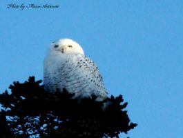 Snow owl 2 by anticostiphotos