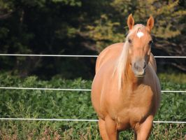 Palomino 4 by equsss-stock