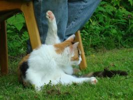 Calico Cat Stock 4666 by sUpErWoLf--StOcK