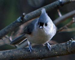 Titmouse by clippercarrillo