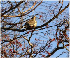 Mourning Dove by Delacorr
