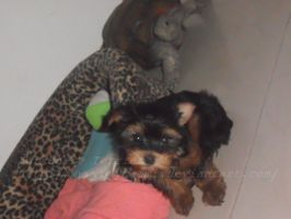 My Yorkshire Terrier(: by ByyCaami