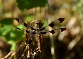 Dragonfly(1) by Grace-love-kindness