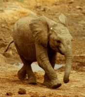 baby elephant by lindaatje