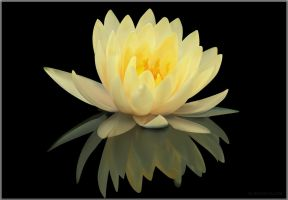 Water Lily by rctfan2