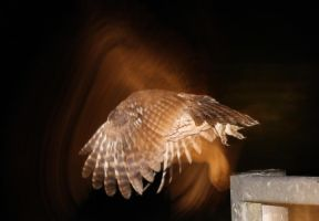Owl in Flight by Steve-FraserUK