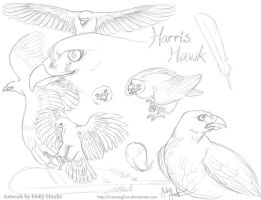 Harris hawk sketch study by CunningFox