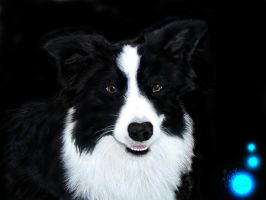 Border Collie by LKE-Kola
