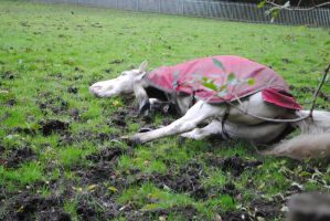 Grey Horse Rolling (5) by emmys-stock