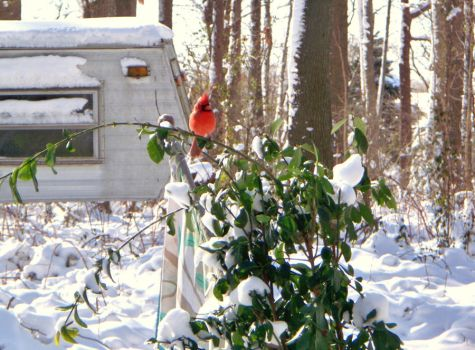 A Cardinal in Winter by Boxcarwillie1989