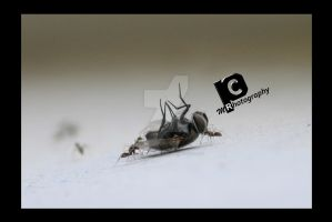 dead fly by PhotographbyMR