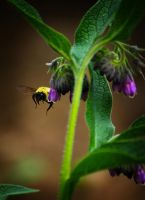 Flight of the Bumble Bee 5 by S-H-Photography