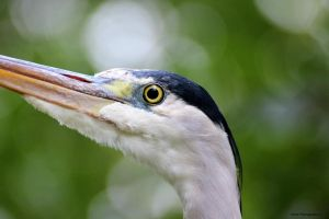 Grey Heron by JoshivandenA