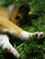 Rough Collie pup in the grass. by Lady-strife