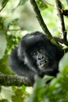 Mountain Gorilla 10 by catman-suha