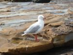 Sea Gull by jmow