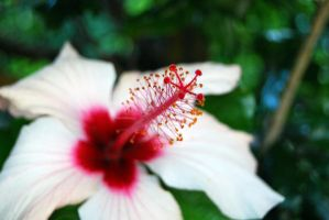 Hibiscus by ladyeowyn1