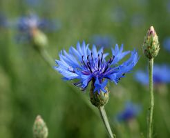 Cornflower ... by AgataSwat