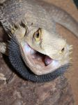 Bearded dragon mad by parrots4life