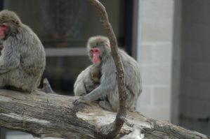 Japanese Macaque by highlyimprobable