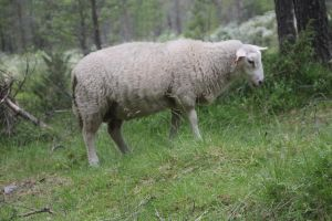 Sheep 3 by Chance-STOCK