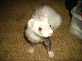 Ferret - Baby 2 by Aetheria-Stock