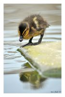 duckling reflection by photoflacky