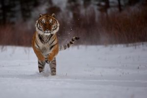 Siberian Tiger 14 by catman-suha