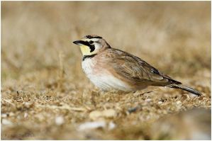 Horned Lark by Ryser915