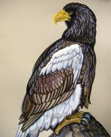 Stellers Sea Eagle by HouseofChabrier