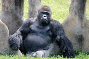 Silverback by NB-Photo