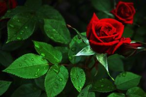 Roses After Being Watered by Darkness-in-the-lens