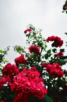 Roses Are Red II by lilymiller1