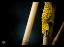 Gecko III by RemusSirion