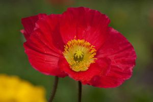 Red Poppy by Mikelyjohnsono