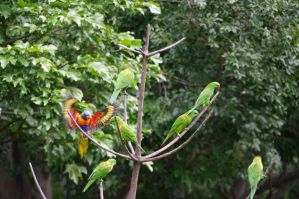 Lorikeet wings stock 2 by Aqua-Stock
