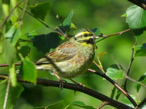 Cirl Bunting by Audierne